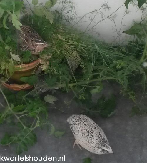 plant met japanse kwartels